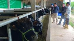 """Nghệ An: Nuôi bò """"lực sĩ"""" 3B nhập từ Bỉ, nặng cả tấn, bán mỗi con nông dân lãi 35 triệu đồng"""