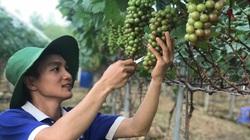 """Vĩnh Phúc: Cử nhân bỏ lương cao về quê trồng nho lạ ra trái từng chùm khiến cả làng """"lác mắt"""""""