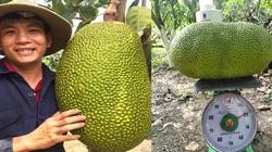 Giá mít Thái hôm nay 23/3: Mới tăng lại giảm, nhà vườn trồng mít Thái hé lộ cách tuyển ra nhiều trái mít loại Nhất