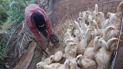 """Giá gia cầm hôm nay 24/3: Giá vịt thịt miền Nam tăng nhanh, sắp vượt """"đầu 5"""""""