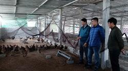 """Quảng Bình: Một ông nông dân có bằng ĐH Luật về nuôi thứ chim """"sang chảnh"""" như nuôi gà ta, nhiều người tìm đến xem"""