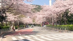 Hàn Quốc hủy bỏ lễ hội hoa anh đào trên khắp đất nước do dịch Covid-19