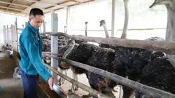 """Lào Cai: Anh nông dân nuôi giống """"gà khổng lồ"""", thích tắm cát, ăn ngô cỏ, bán giá 8-10 triệu đồng/con"""