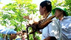 Tin vui: Tìm ra 2 giống sắn mới kháng bệnh khảm lá 100%, dịch bệnh tàn phá nhiều vùng trồng sắn được đẩy lùi