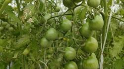 Bình Định: Vườn cà chua chuỗi ngọc mọc chi chít trái trên đồi, ai đến ngắm cũng thốt lên trầm trồ
