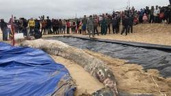 Phát hiện xác cá voi nặng một tấn dạt vào bờ biển Quảng Bình