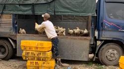 Giá gia cầm hôm nay 30/3: Giá gà công nghiệp tăng trở lại, người nuôi chưa hết lo