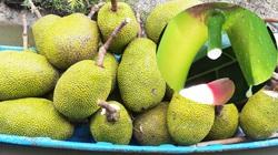 Giá mít Thái hôm nay 30/3: Giá mít Thái Tiền Giang giảm mạnh, có cần chấm bông gòn khi cắt tuyển trái mít không?