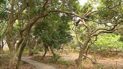 Bạc Liêu: Nguy cơ xóa sổ vườn nhãn cổ 100 tuổi
