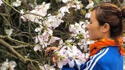 """Đặc sản Tây Bắc và chỉ có ở Tây Bắc: Lên rừng hái hoa ban đẹp mỏng manh chế thành món ăn dễ """"gây nghiện"""""""