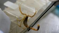 'Vua bọ cạp' bỏ việc tới sa mạc sống, kiếm 173 triệu đồng mỗi gram nọc độc bọ cạp