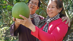 Bến Tre: Người dân có bí quyết gì, trồng bưởi sạch từ vườn đến quả, đang bán rất chạy ở nước ngoài?