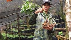 """Kon Tum: Cây quý """"quốc bảo"""" ví như """"cây triệu đô"""" là cây gì mà ở đây khuyến khích nông dân trồng và nhân giống?"""