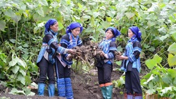 Tỉnh nào của nước ta có vùng đất trồng thứ sâm đào lên la liệt củ to thô lố, bán rẻ hơn khoai lang?