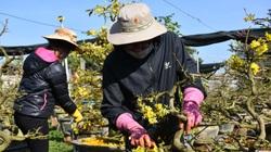 Gia Lai: Tháng Giêng là tháng chăm mai, ai nhận được nhiều cây người đó kiếm bộn tiền
