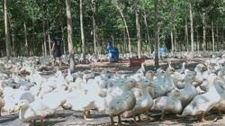Giá gia cầm hôm nay 10/3: Vịt tăng 3.000 đồng/kg, gà lai chọi giá chỉ 48.000 đồng/kg