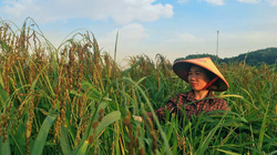 Thái Nguyên: Xây dựng chuỗi liên kết và tiêu thụ sản phẩm nếp Vải Phú Lương