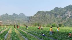 Bắc Kạn: Trồng thử cây thấp tè tè, ra trái đỏ chót, cho thiên hạ ăn miễn phí mà vẫn kiếm cả chục triệu/ngày