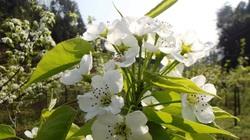 Lào Cai: Đẹp mê mẩn với sắc trắng hoa lê Bắc Hà
