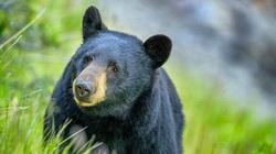 """Căn bệnh kỳ lạ biến những chú gấu Mỹ thành """"thây ma"""""""
