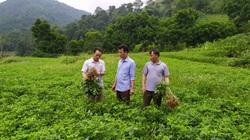 """Lào Cai: Vùng cao Bắc Hà nhân rộng cây """"giảm nghèo"""" lạc đỏ, trồng cây dược liệu quý"""