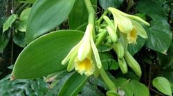 2 loại gia vị đắt bậc nhất thế giới: một thơm nức mũi, một cay không tưởng trồng thành công ở Việt Nam