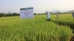 Nông dân mê tít hàng loạt giống lúa mới của VinaSeed trên đất Bình Định