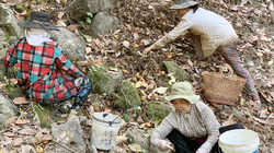 Giá điều giảm sâu từng ngày, chủ vườn gấp rút thuê người nhặt vì lo sợ điều này xảy ra