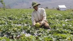 Nơi đây người dân thu nhập cao từ trồng dưa trên đất lúa