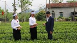 """Trồng chè VietGAP, năng suất cao gấp 3 lần, bán  """"đắt như tôm tươi"""", nông dân phấn khởi ra mặt"""
