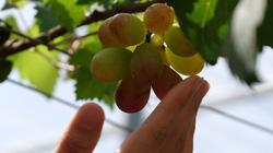 Đồng Nai: Cận cảnh vườn nho Nhật Bản chi chít quả, hái đến đâu thương lái đòi mua đến đó