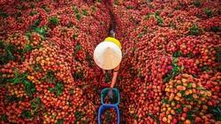 Nhật Bản cấp bằng bảo hộ, Trung Quốc mua đến 65%, loại nông sản này có thu đủ 4 tỷ USD trong năm 2021?