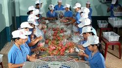 Bình Thuận: Thanh long ruột tím hồng, đẹp đủ đường, ngon đủ kiểu, nhưng vì sao chưa bán giống được ra ngoài?