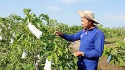 """An Giang: Đánh liều trồng thứ na ra trái """"khổng lồ"""", bất ngờ ông nông dân Tri Tôn trúng lớn, bà con làm theo"""
