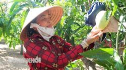 Bến Tre: Nông dân ở vùng này trồng xoài tứ quý đạt 1 trong những tiêu chuẩn khắt khe nhất thế giới, bán giá cao