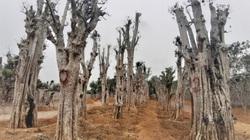 """Ảnh: Hàng trăm cây cổ thụ bị """"đào tận gốc, trốc tận rễ"""" rao giá trăm triệu nằm so đũa giữa Thủ đô Hà Nội"""