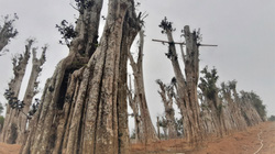 Sau loạt bài Điều tra của Dân Việt: Hà Nội xử lý 7 vụ vi phạm liên quan đến kinh doanh cây cổ thụ