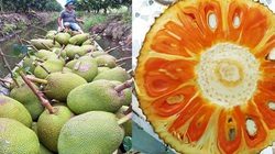 Giá mít Thái hôm nay 20/4: Loạn giống mít ruột đỏ, có nên trồng mít Thái ruột đỏ xơ vàng, thực hư ra sao?