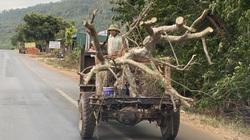 """Video điều tra: Lật tẩy chiêu """"phù phép"""" cây rừng Tây Nguyên thành... """"cây cảnh"""" để bán cho đại gia Hà Nội"""
