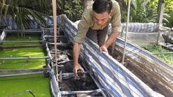 Tiền Giang: Nuôi lươn không bùn, nuôi cả lươn có bùn, ông nông dân bắt con nào cũng bự, nhiều người đến xem