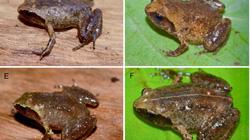 Phát hiện loài ếch tí hon dài... 14mm ở Hà Tĩnh
