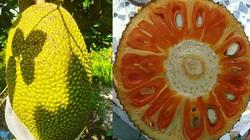Giá mít Thái hôm nay 24/4: Giá mít Thái đã tăng 1.000 đồng/kg, nhiều trại cây giống tung bán giống mít ruột đỏ