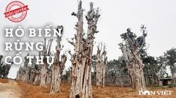 """Thủ đoạn hô biến rừng cây cổ thụ (Bài cuối): """"Chảy máu"""" cổ thụ - cần một bàn tay thép, trước khi quá muộn!"""