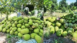 Giá mít Thái hôm nay 26/4: Giá mít èo uột, nông dân trồng mít Thái Tiền Giang cắt bớt trái trên cây để làm gì?
