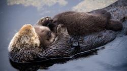 """Rái cá sông Bắc Mỹ - loài động vật từng """"suýt"""" bị tuyệt chủng"""
