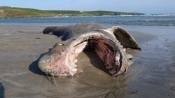 Xác của con cá mập dài hơn 7 mét trên bờ biển làm dấy lên nhiều nghi vấn