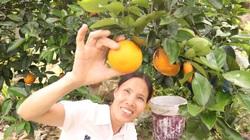 Quảng Ninh: Ghép mắt cam V2 lên gốc bưởi, cây nào cũng khỏe, trái đầy cành, xã đảo Vạn Yên có hộ thành tỷ phú