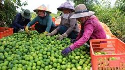 """Trồng chanh kiểu """"xịn xò"""" này, nông dân Bến Lức tha hồ đem chanh Việt xuất sang trời Âu"""