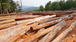 Kon Tum: Bãi gỗ khủng hàng trăm mét khối tận thu ở lòng hồ