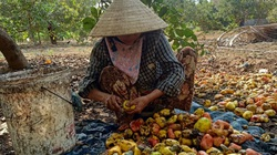 Đắk Lắk: Trồng thứ cây cả năm cật lực chăm bón, tới vụ trái ra lèo tèo, bán rẻ mạt, nông dân chán hẳn